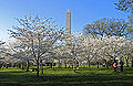 220px-Cherry Blossoms and Washington Monument.jpg